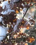 Winter-Leaves